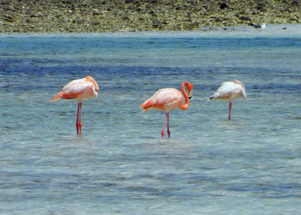 A photograph of Pink Flamingos on Grand Turk, Turks and Caicos Islands, British West Indies