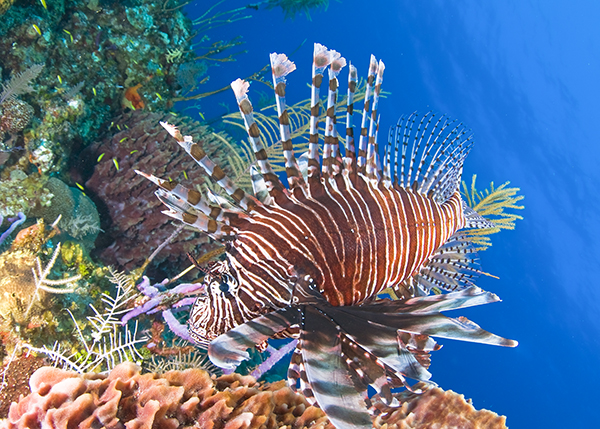 A photograph of a lion fish in the Turks and Caicos Islands.