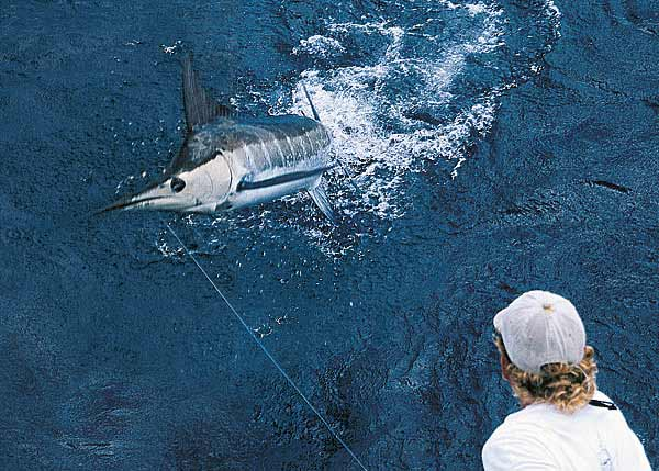 A photograph of a Blue Marlin which are caught in record numbers during the summer season around Providenciales (Provo), Turks and Caicos Islands