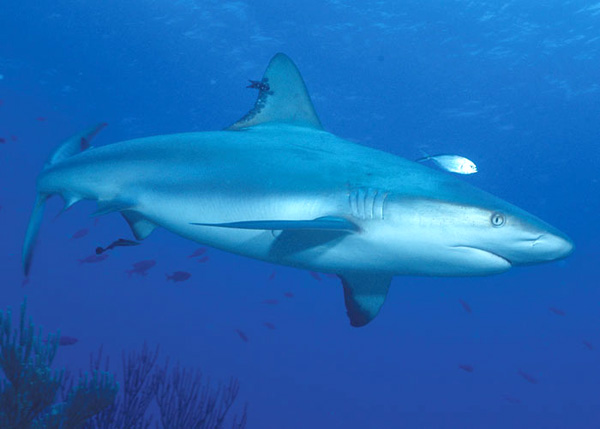 A photograph of a Caribbean Reef Shark, Turks and Caicos Islands, British West Indies