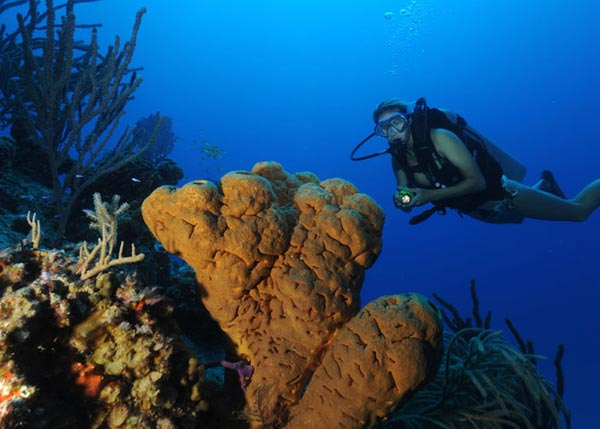 A photograph of a diver with Yellow Tube Sponge, Providenciales (Provo), Turks and Caicos Islands, British West Indies