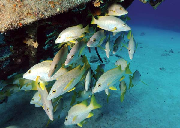 A photograph of Yellow Jacks hanging out under a wreck near Providenciales (Provo), Turks and Caicos Islands, British West Indies