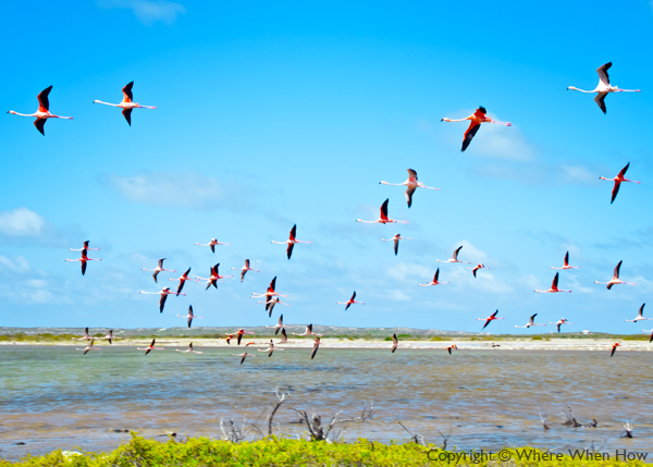 A photograph of the flamingos on South Caicos, Turks and Caicos Islands, British West Indies