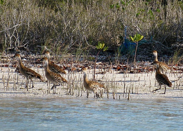 A photograph of rare Whistling Ducks in the East Bay Cay National Park, Turks and Caicos Islands.